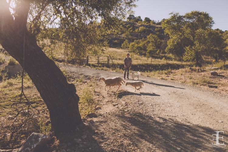 fotografía en el campo con ganado cruzando la caretera reportaje de boda málaga